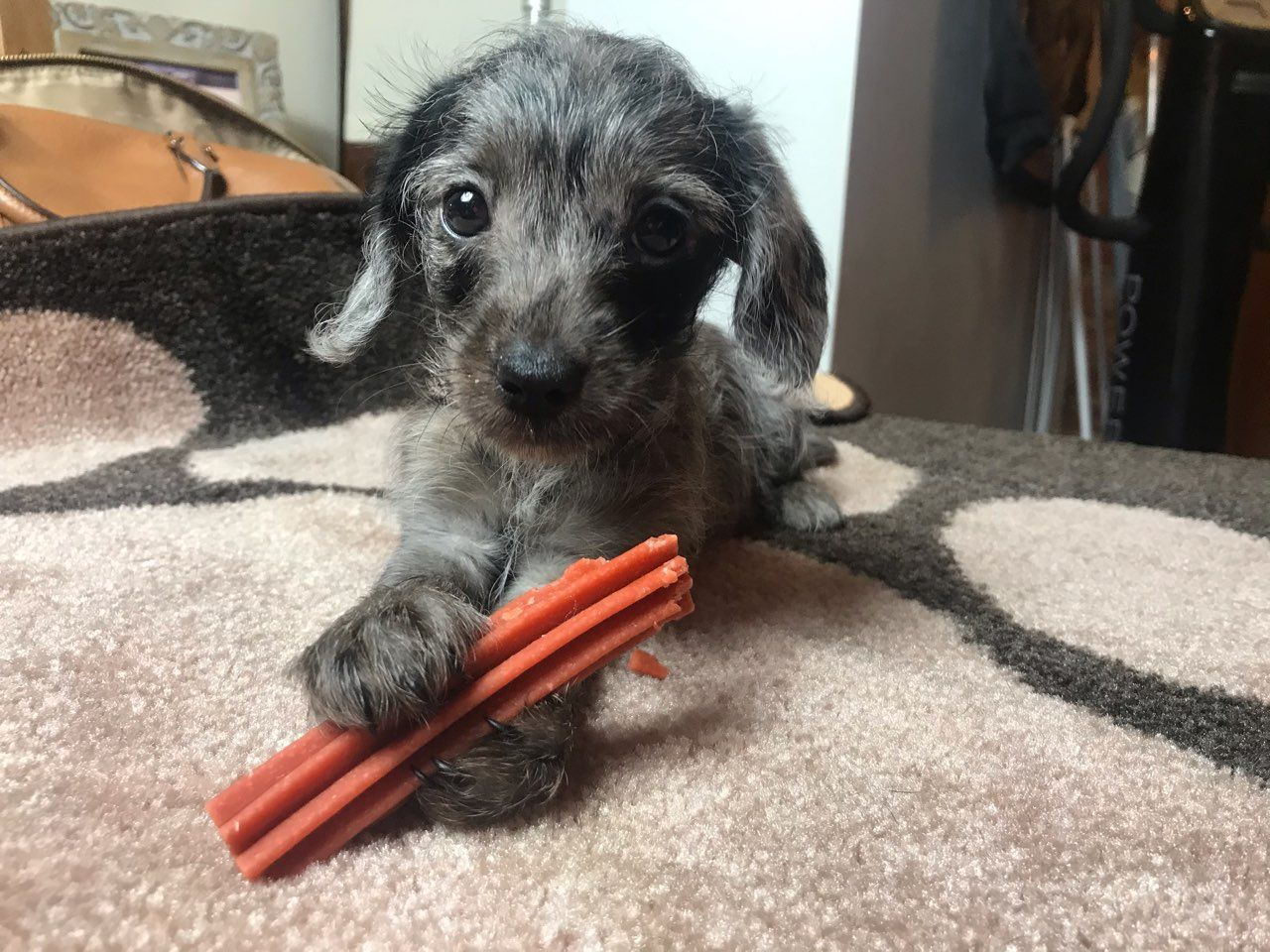 Baby Blue Light Dapple And Tan Mini Dachshund Dachshund Breed