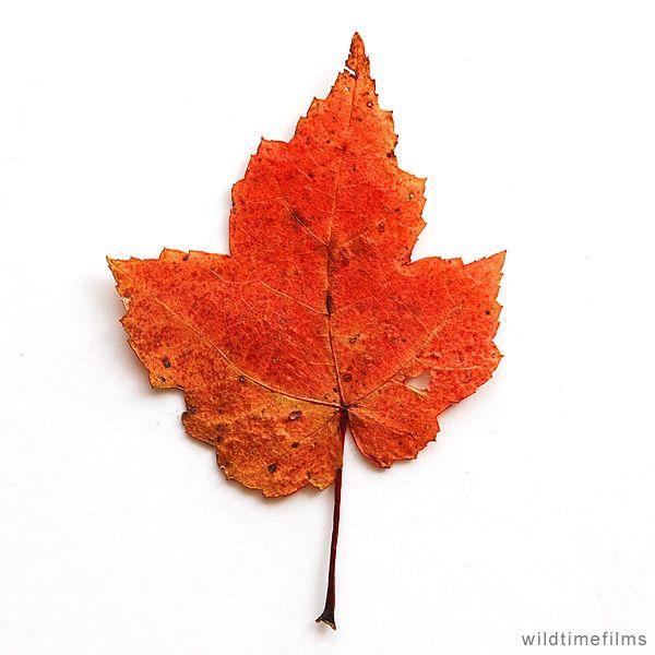 Dried red leaf.