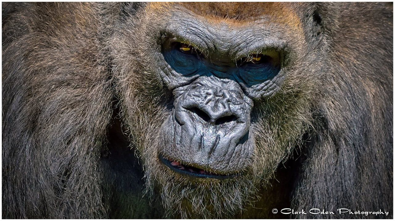 Animals For > Silverback Gorilla Teeth | Gorilla ...