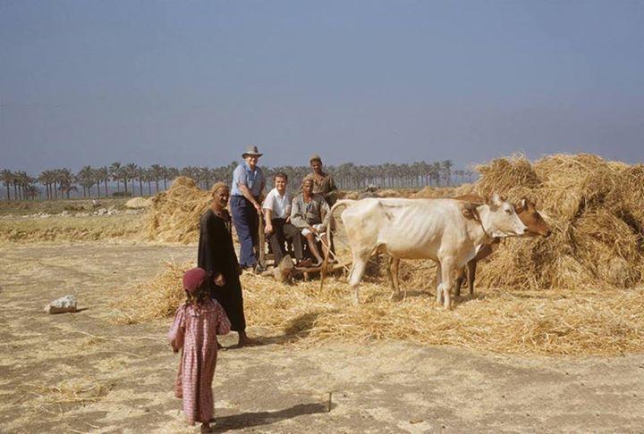صورة من قرية ميت رهينة في خمسينيات القرن الماضي و أجانب أعجبهم النورج في موسم الحصاد Old Egypt Egypt Animals
