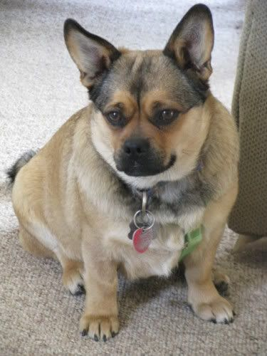 Corgi Pug Mix Adorable Or Abomination I M Not Even Sure O O I
