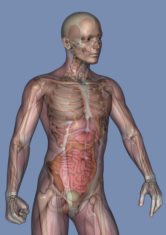 Cuerpo Humano con transparecias | Anatomía y Fisiología | Pinterest ...