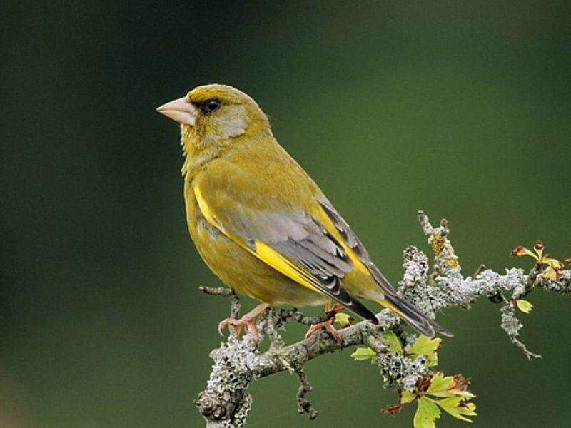 Verrassend nederlandse vogels afbeeldingen - Google zoeken (met afbeeldingen NC-85