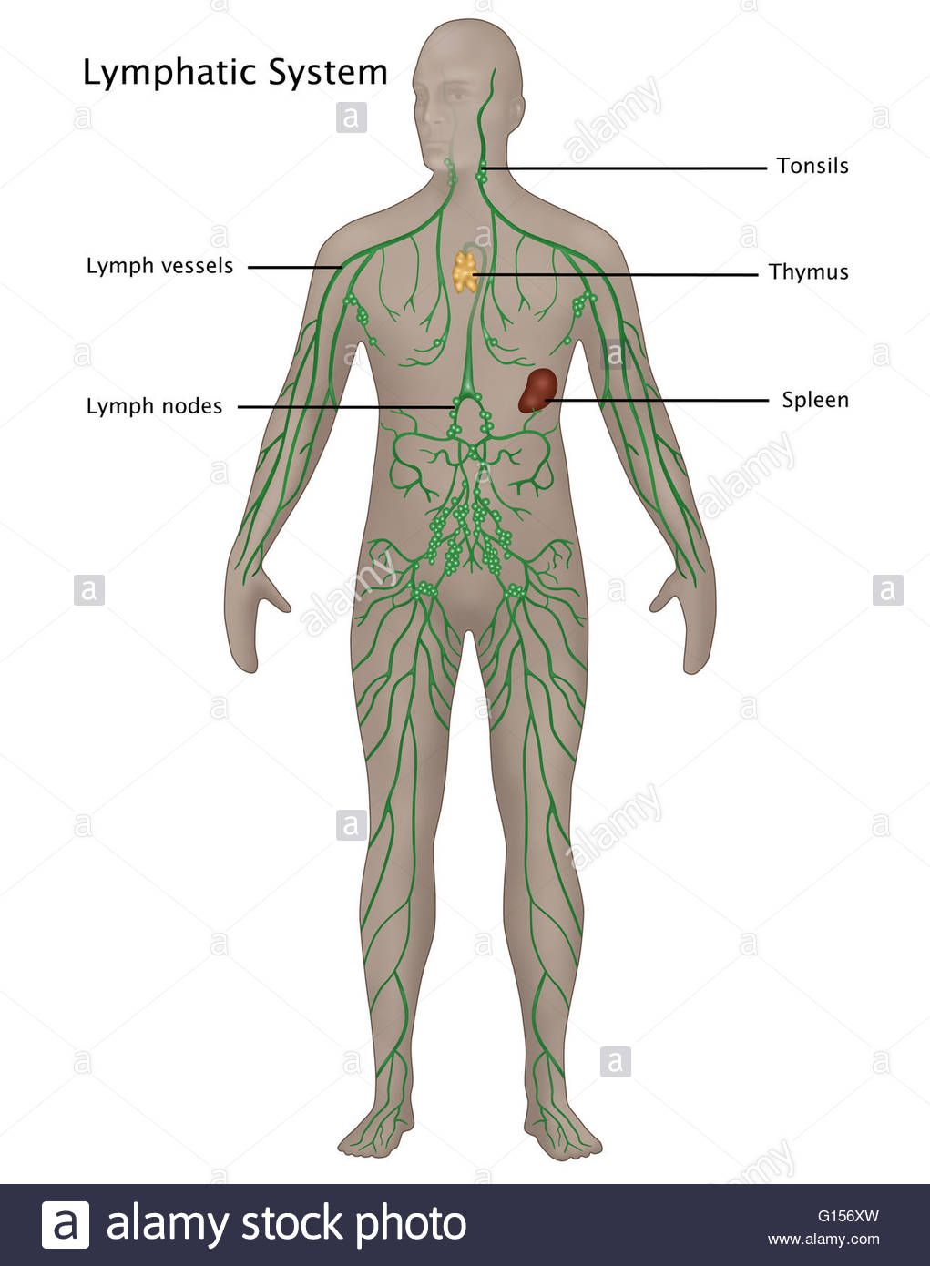 Download this stock image Illustration of the lymphatic