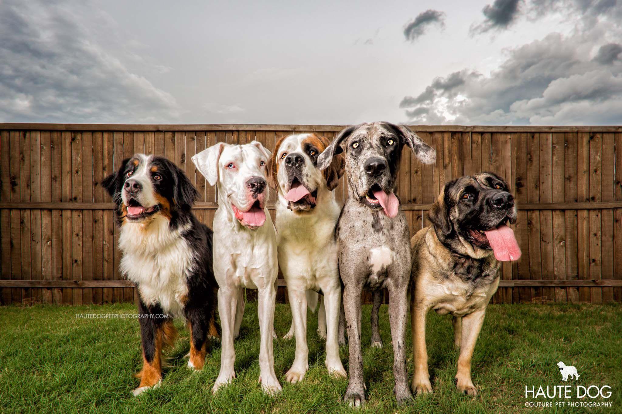 Gentle Giants Five Dallas Dogs In Denton County Dallas Dogs
