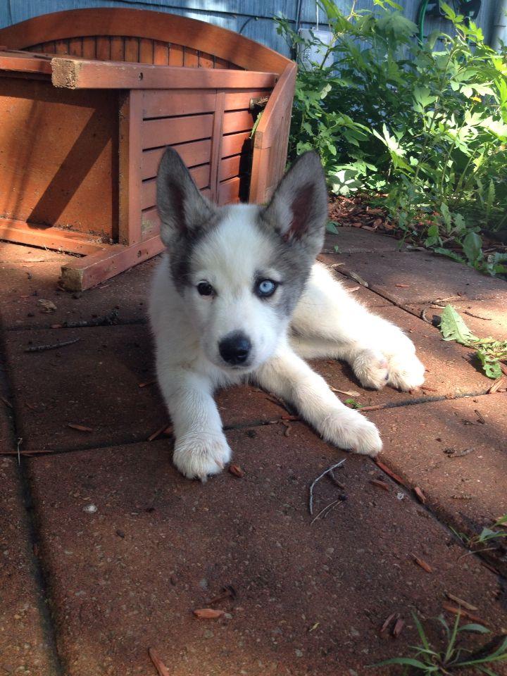 My Busky Beagle Husky Mix Loki He Has Two Different Eye Colors