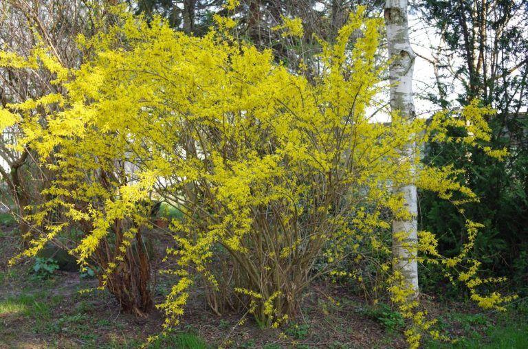 Kwiaty Forsycji 4 Przepisy Dla Zdrowia I Urody Hajduczek Naturalnie Proste Sposoby Na Zdrowe Zycie Plants Tree Tree Trunk