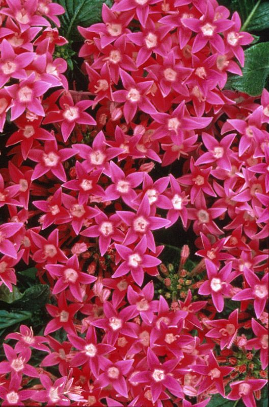 Image Of Butterfly Deep Pink Pentas (Texas Superstar)Attracts Butterflies.  | Gardening And Landscape | Pinterest | Texas, Butterfly And Flowers