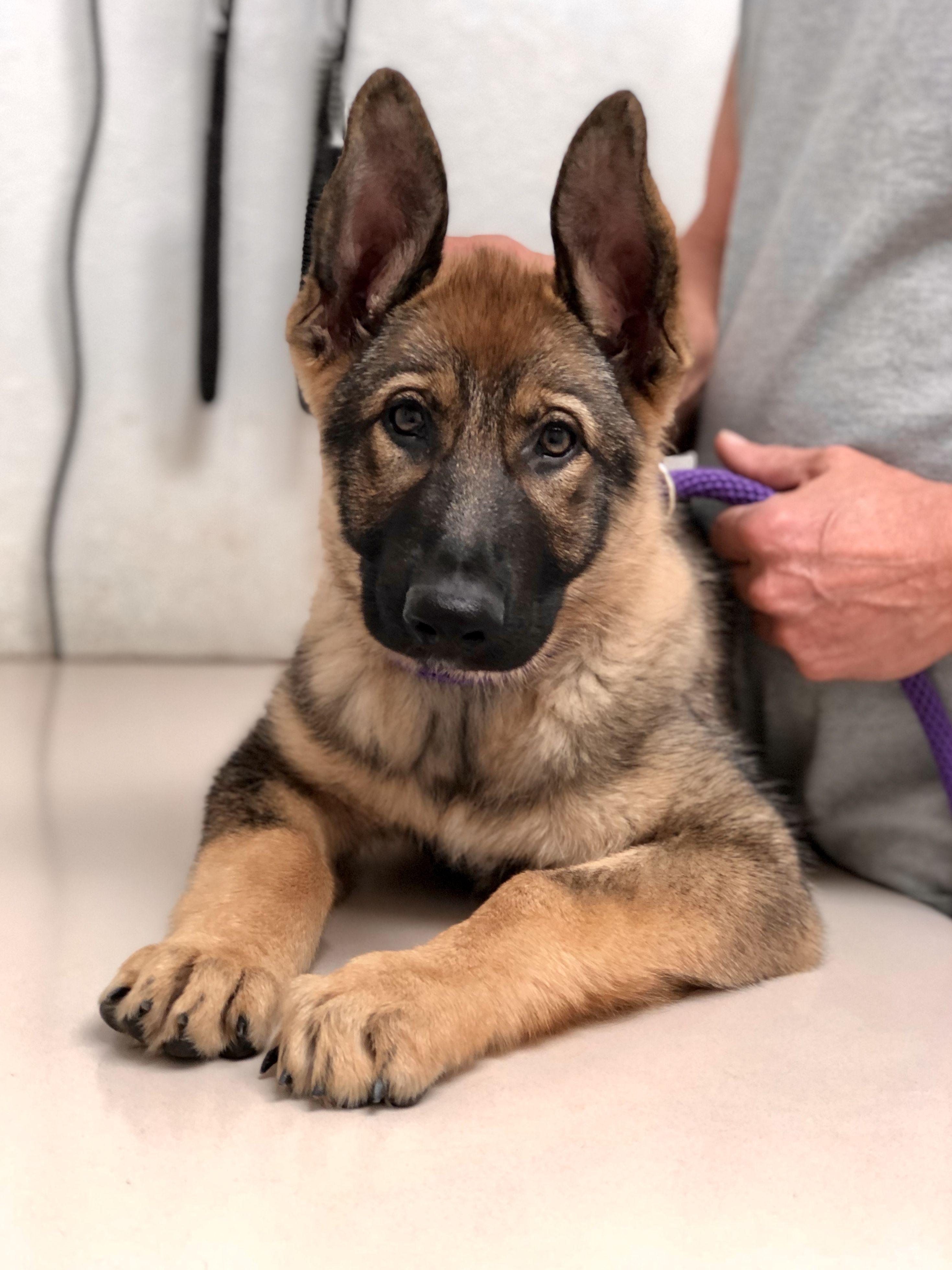 Gsd puppymaggie gsd puppies german shepherd puppies