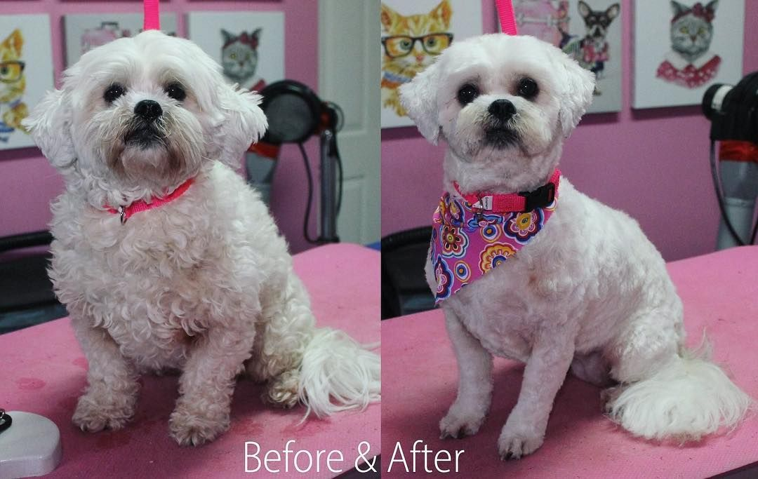 Shylo Shihpoo Dog Dogs Doggrooming Doggroomer Petgroomer
