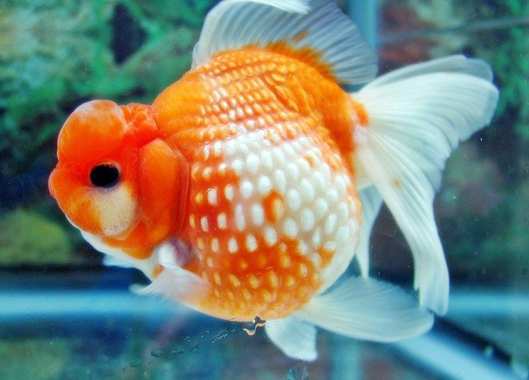 Foto Ikan Mas Koki Sisik Mutiara Flora And Fauna Fish