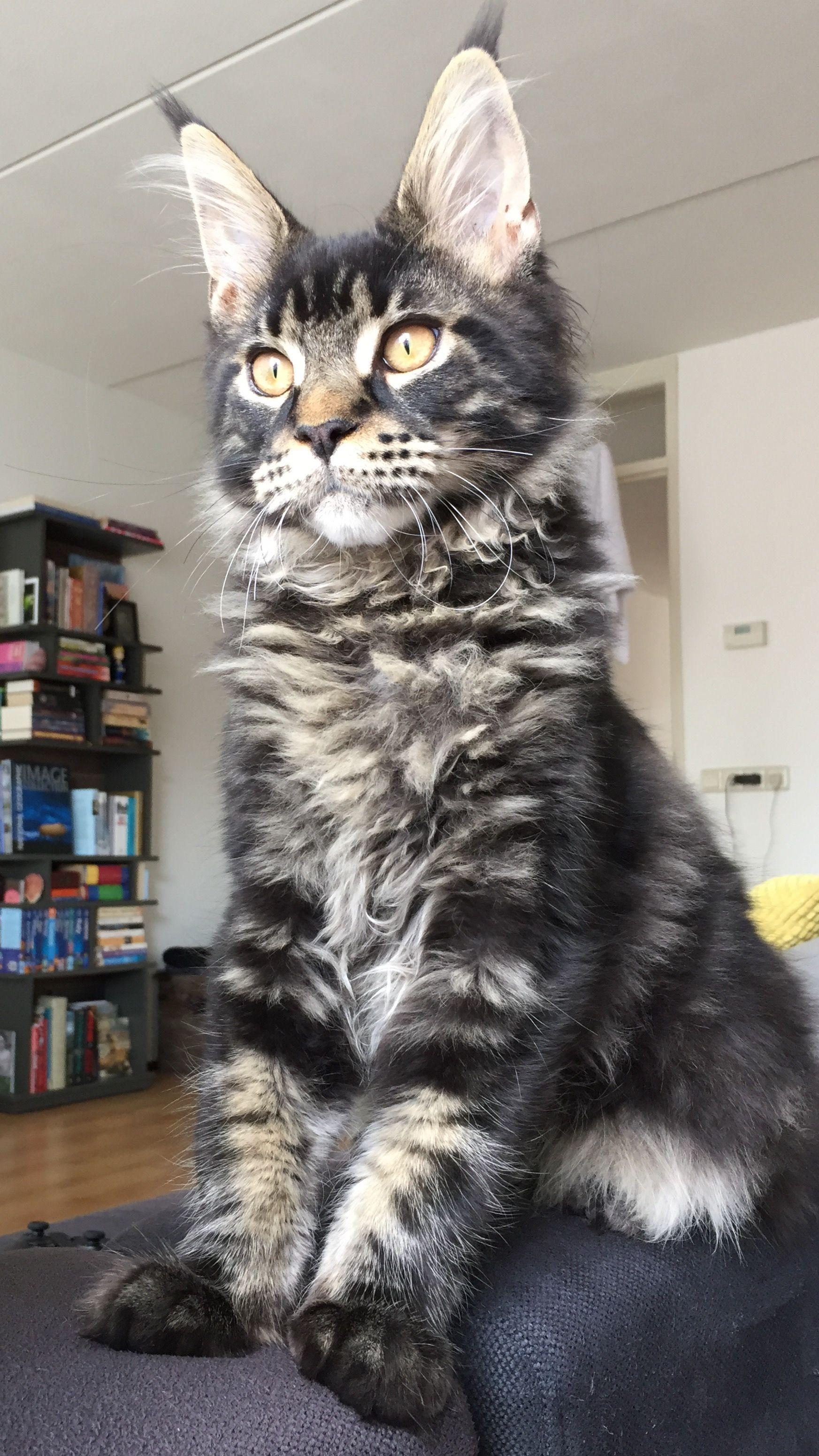 Maine Coon Carattere Aspetto Salute E Prezzo Gatticats Gatti