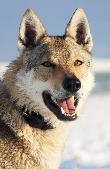 The  Czechoslovakian Wolfdog was created through breeding 48 German Shepherd Dogs with four Carpathian wolves, a plan was worked out to create a breed that would have the temperament, pack mentality, and trainability of the Sheperd & the strength, physical build & stamina of Wolf. The breed was engineered as attack dogs for use in military Special Operations  by the Czech Special Forces, but were then used for rescue, tracking herding, agility, obedience, hunting, and drafting