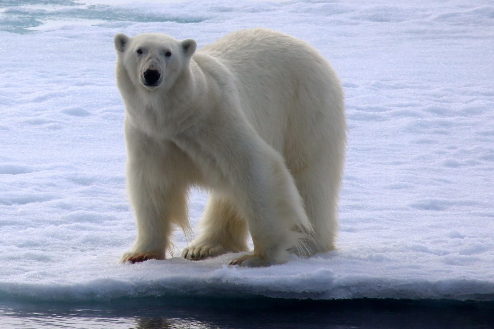 Do You Want To See A Polar Bear In His Natural Habitat We Offer Amazing Expeditions To Greenland And Svalbard Spitsbergen Where The Li Polar Bear Bear Polar