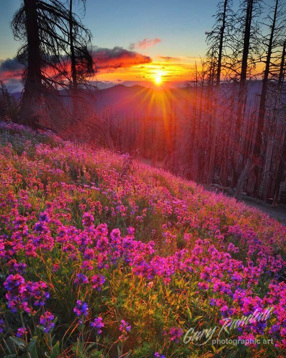 A sunrise over wildflowers, Mount Hood, Oregon.