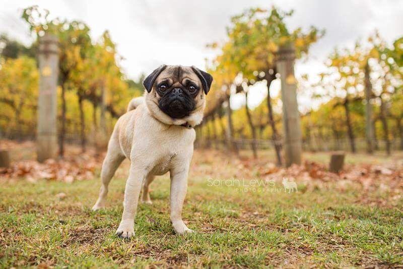 5 Tips For Autumn Photos With Your Pug Pugs Cute Pugs Pug Love