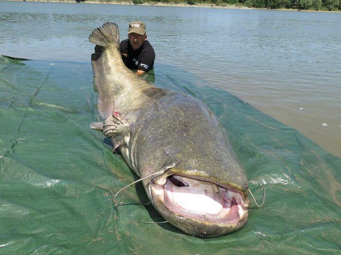 260lb Catfish Caught In Italy Coarse Fishing News Angling Times Gofishing Uk Fish Catfish Catfish Fishing