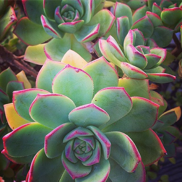 Lovely Aeoniums in my son's garden. #proudmom #debraleebaldwin #succulents #gardening #sandiegogarden #blueplants