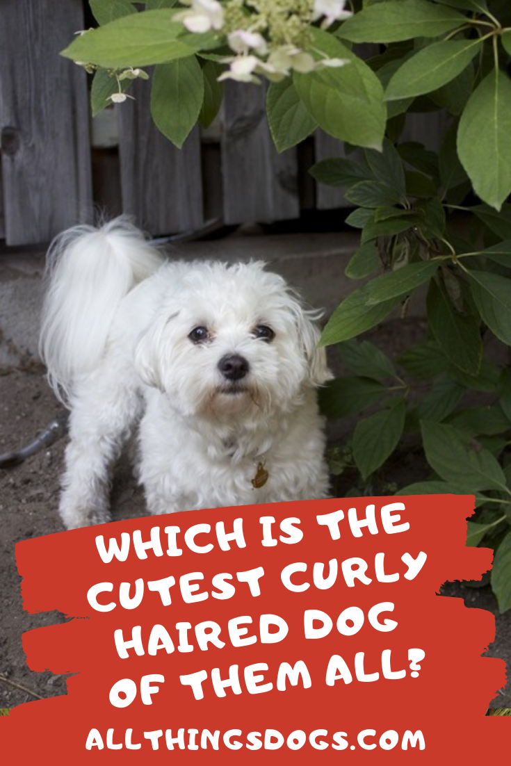 Which Is The Cutest Curly Haired Dogs Of Them All Poodle Mix Puppies Dogs Cute Dogs Breeds