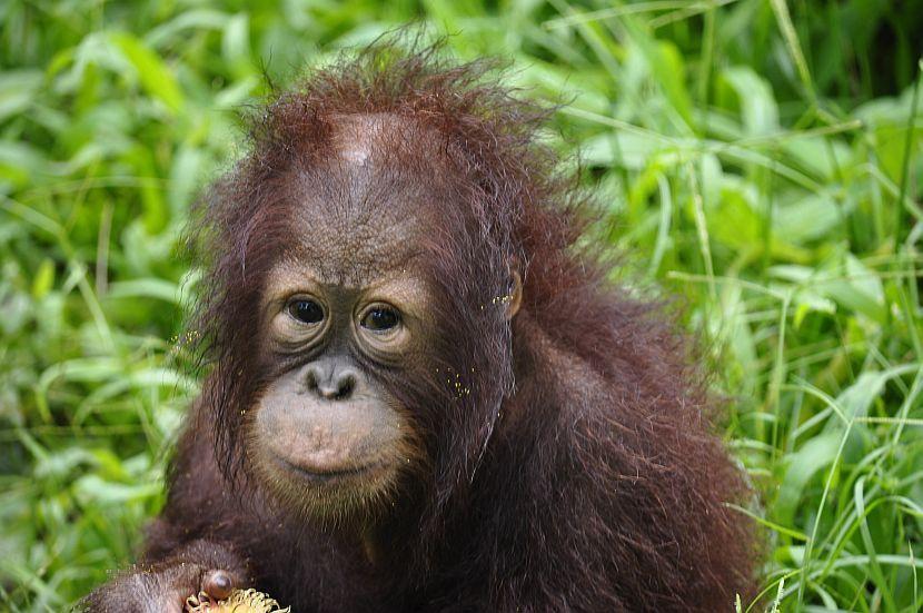 Harriet, a Rescued Baby Orangutan, was kept as a Pet in a ...