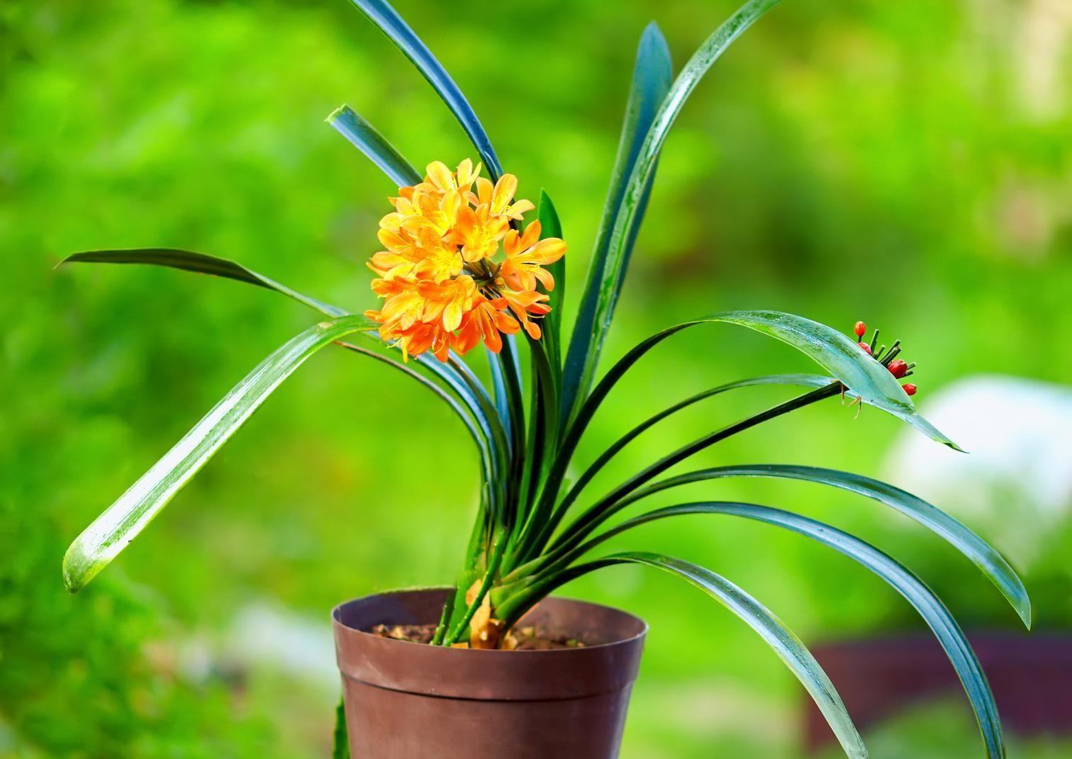 Kliivian hoidossa on muutama niksi, joiden avulla sen saa viihtymään ja kukkimaan. Lue Viherpihasta!