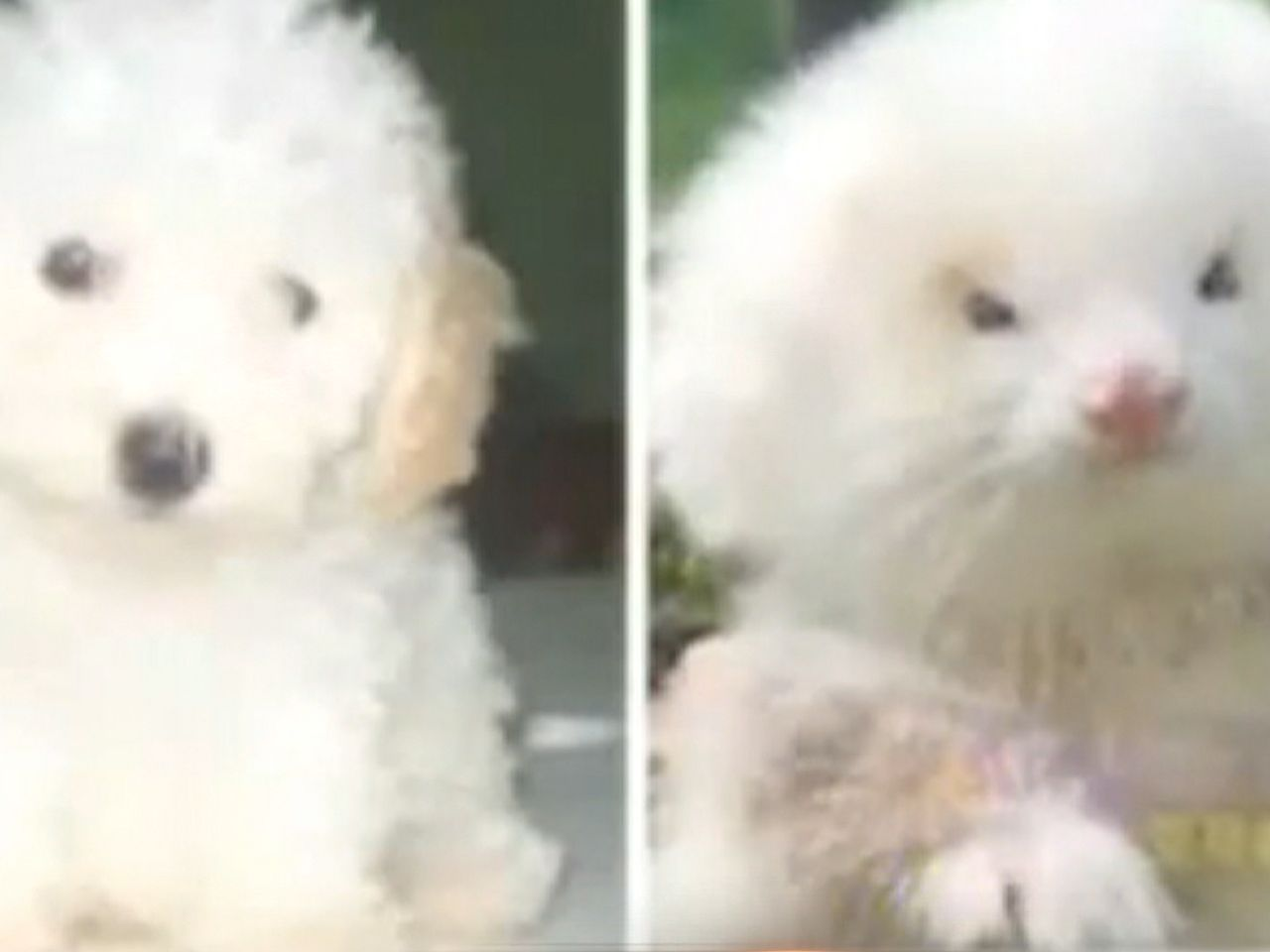 Vet To Owner Your Poodles Are Ferrets Ferret Toy Poodle Poodle