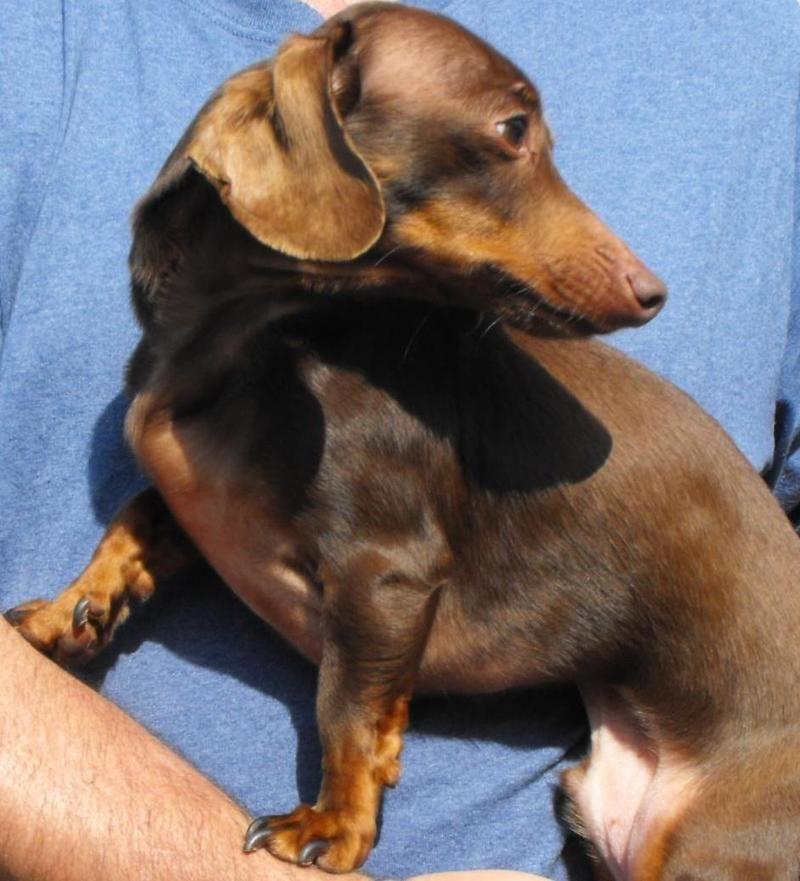 Petfinder Adoptable Dog Dachshund Spartanburg Sc