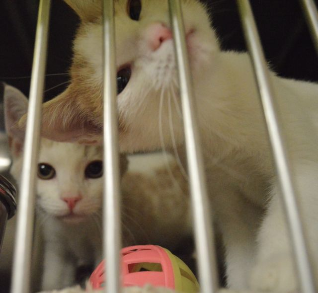 Chico Animal Shelter As The Cutest Most Curious Kittens 530 894