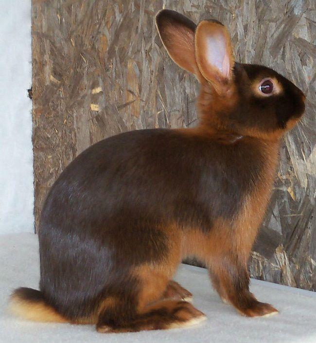 tan rabbit breed | Zoe Fans Blog | Rabbit breeds, Cute baby ...