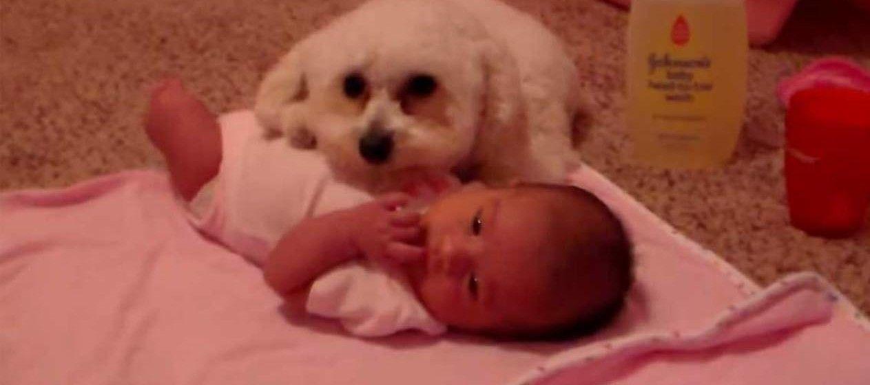 Aksi Anjing Pudel Melindungi Bayi dari Bahaya - Notanostra.com