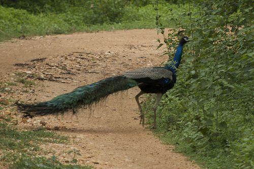 Peacock, Udawalawe National Park, Sri Lanka (www.secretlanka.com)