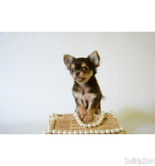 Chihuahua For Sale In Md Chihuahua For Sale Pinterest