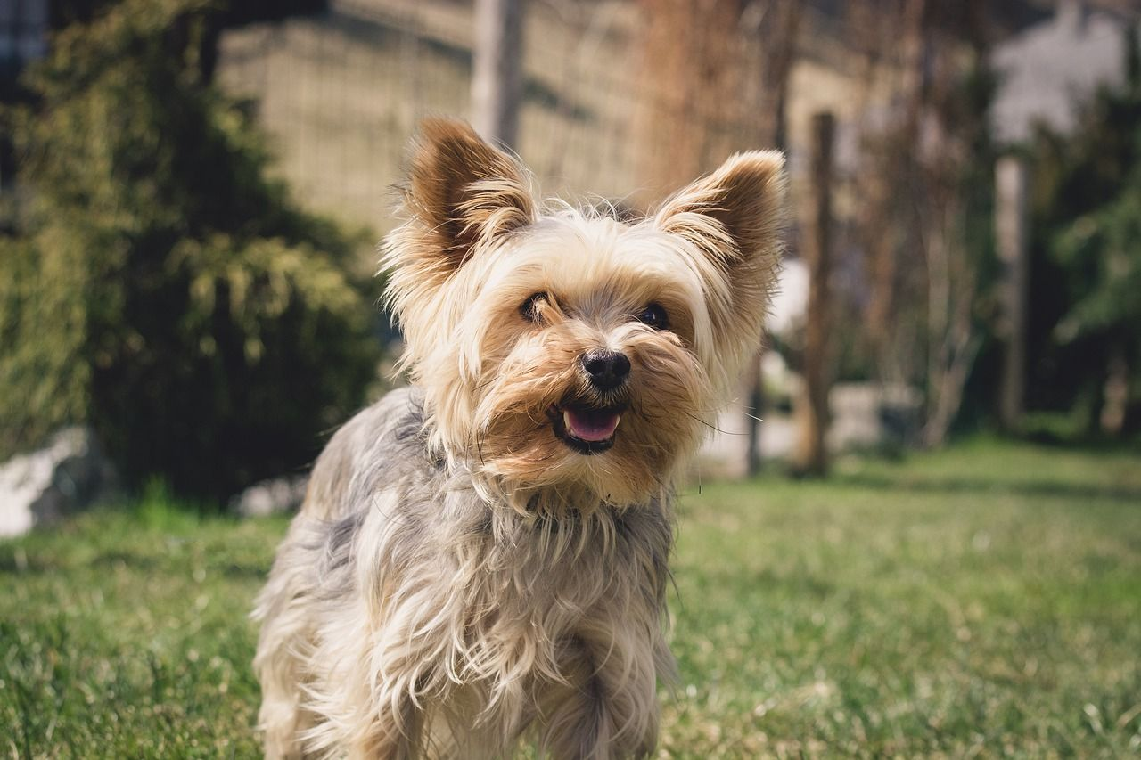 Free Image On Pixabay Dog Small Yorkie In 2020 Yorkie Yorkshire Terrier Yorkie Teacup Yorkie Puppy