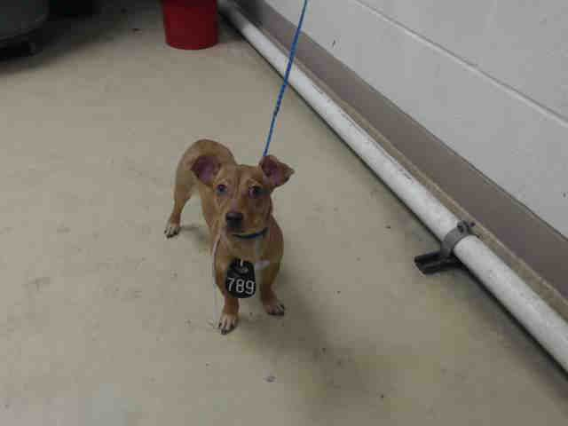 MIMI - ID#A458639 My name is MIMI I am a female, brown Chihuahua - Smooth Coated. My age is unknown. I have been at the shelter since May 09, 2016. This information was refreshed 7 minutes ago and may not represent all of the animals at the Harris County Public Health and Environmental Services.