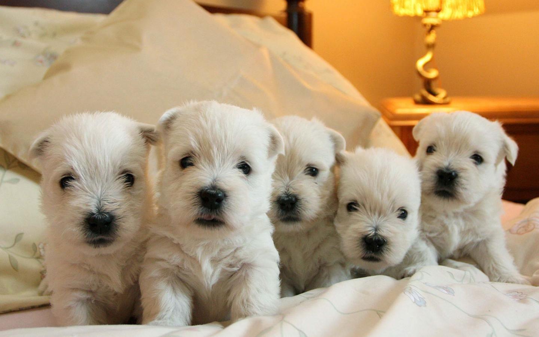 Pin By Hannah Stadler On Animals Westie Puppies Westies West Highland Terrier
