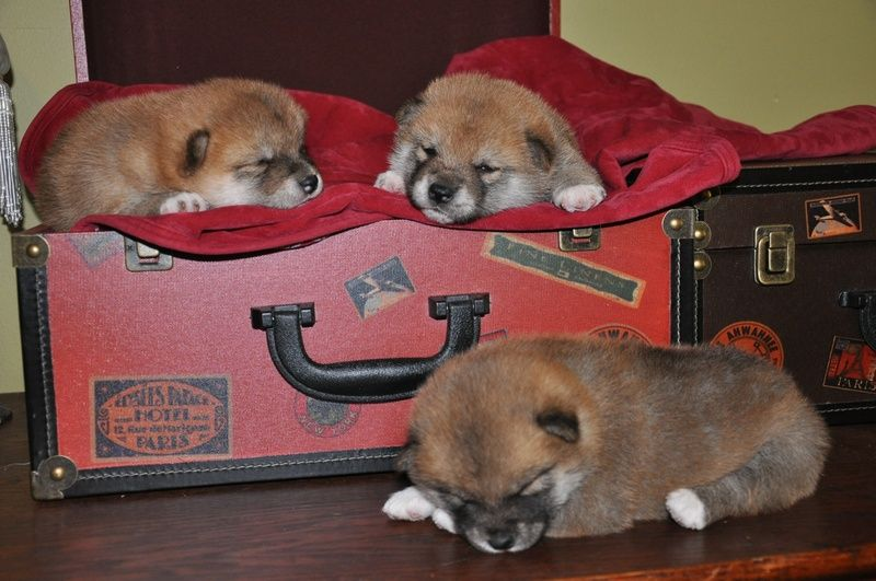 Showboat Kennels Of Thomaston Georgia Shiba Inu Puppies For Sale