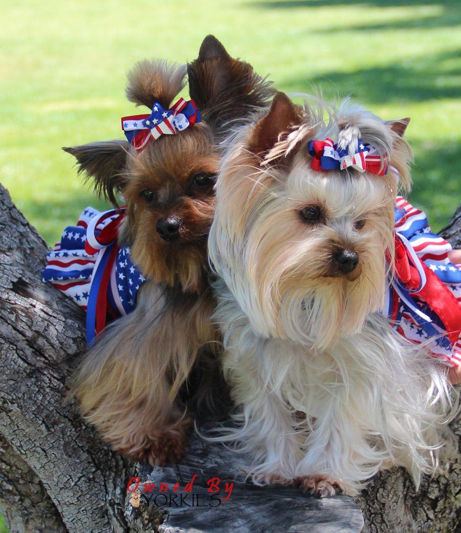 Georgia Corinne S 4th Of July Love These Baker Girls Yorkie Lovers Yorkie Yorkie Terrier