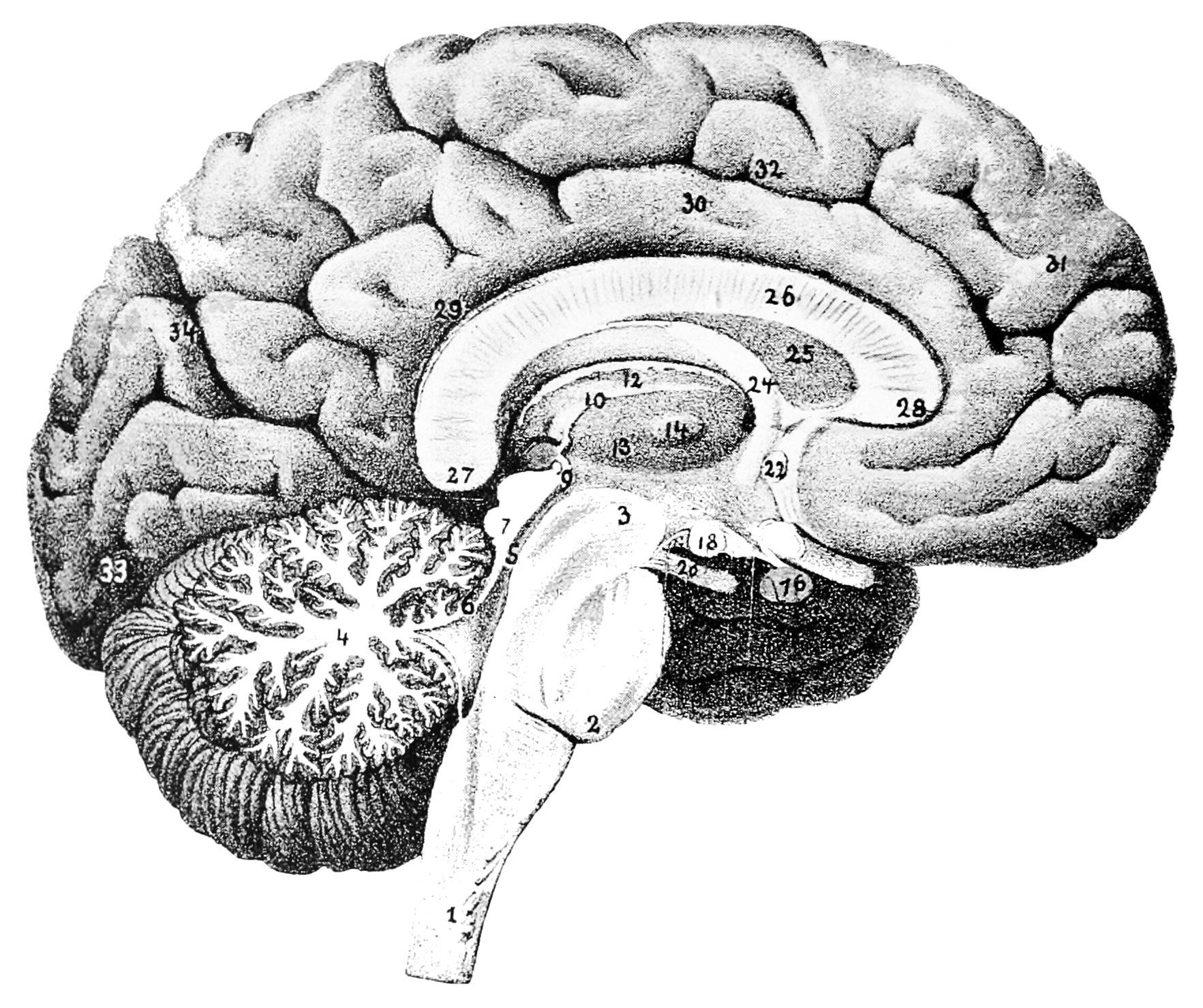 Fein Anatomy And Physiology Of The Brain Wikipedia Fotos - Anatomie ...