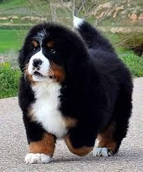 Beautiful Bernese Mountain Dog Chubby Adorable Dog - af2f6ec0273f989237a9df945ecaf42b  2018_227867  .jpg
