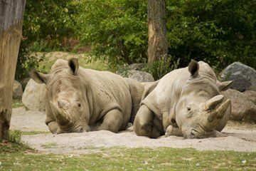 Two rhinos having a little Siesta at the Toronto Zoo