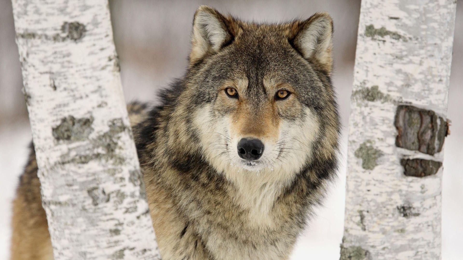 wolf hd wallpapers free hd desktop wallpapers