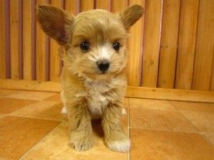 Lovely Poochi Chihuapoo Chihuahua Toy Poodle Mix Poodle Mix