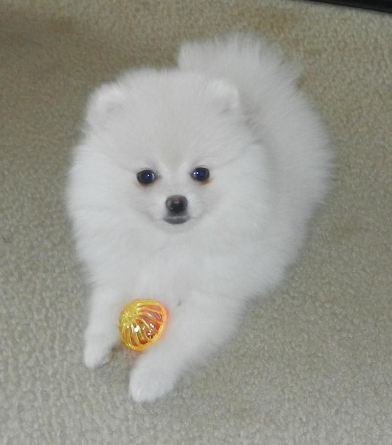 Pin By Akymi Von Monroe On Animals Pomeranian Puppy For Sale