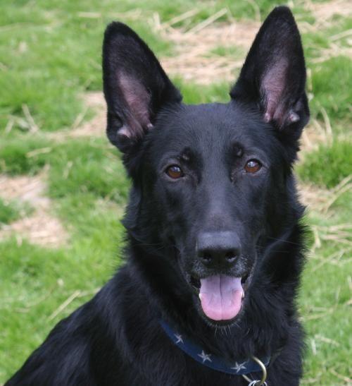 Meet Falco 4470, a Petfinder adoptable German Shepherd Dog