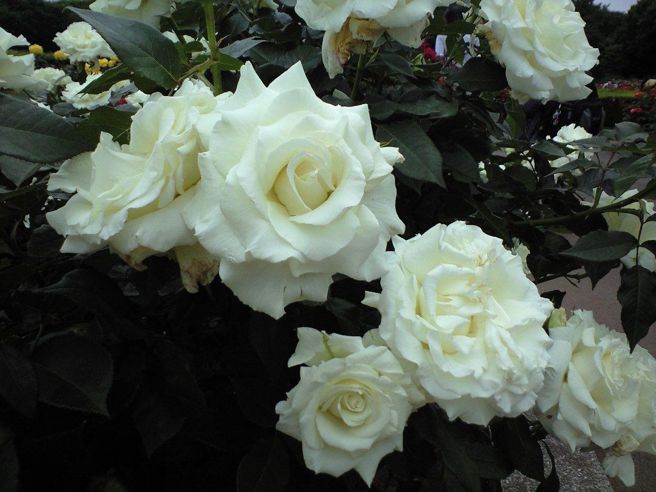 White Rose Shiro Bara Japanese Flowers Pinterest Japanese