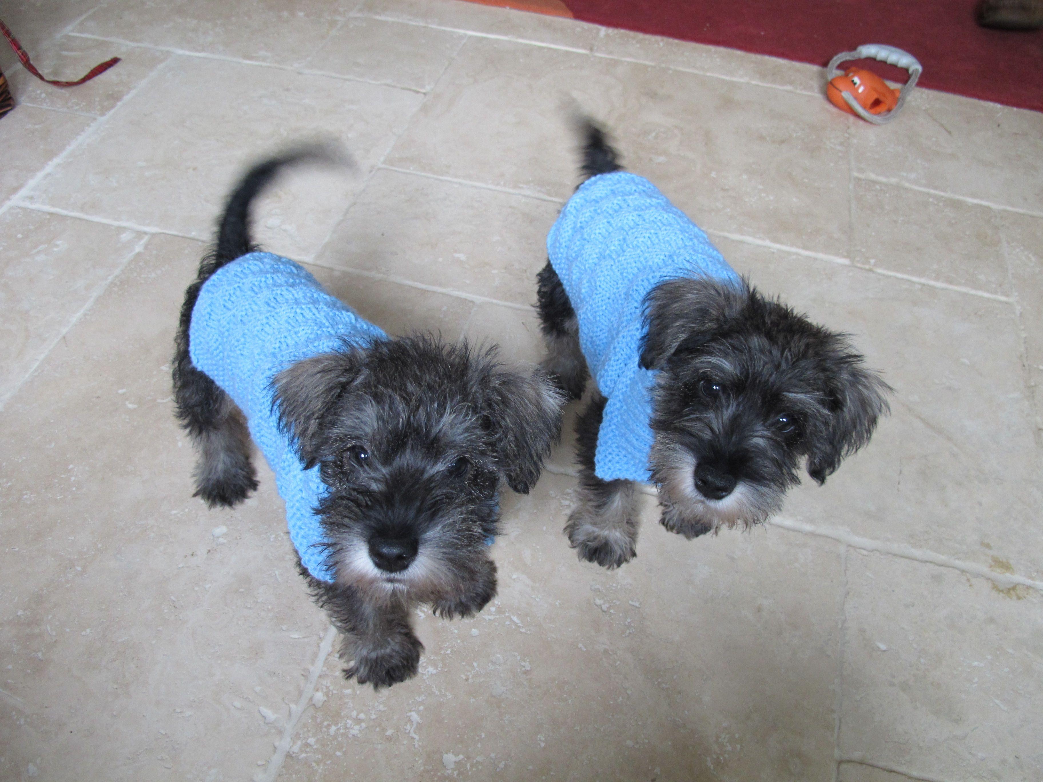 Mini Schnauzer Puppies Aged 8 Weeks | Schnauzer puppy ...
