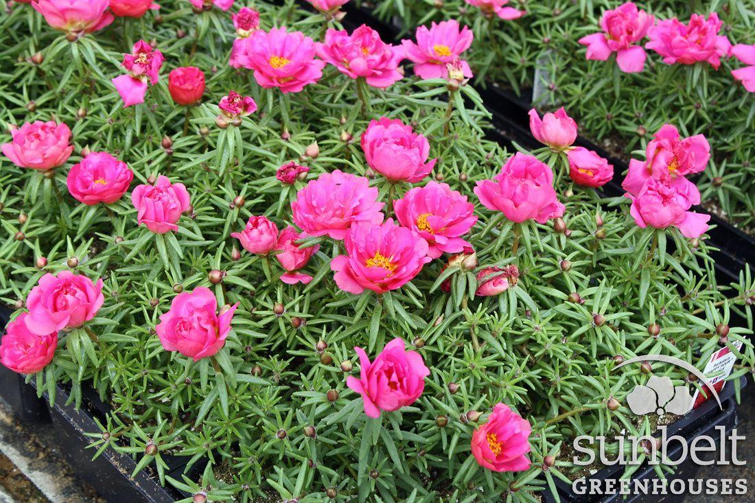 804 annual portulaca happy hour fuchsia flower garden