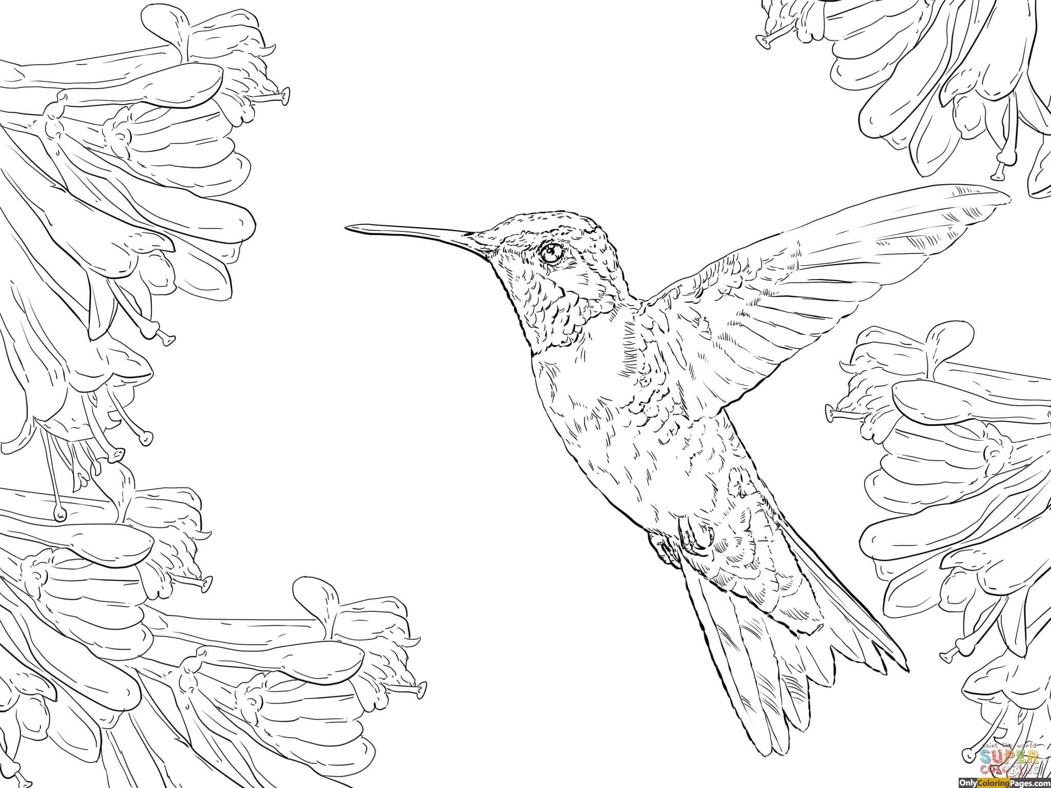 ruby throated hummingbird coloring pages activity sheets, colouring ...