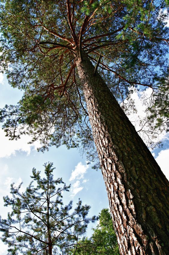 Researchers from Japan's Keiju Medical Center have determined that a certain nutraceutical from pine trees can significantly reduce symptoms of menopause and perimenopause.