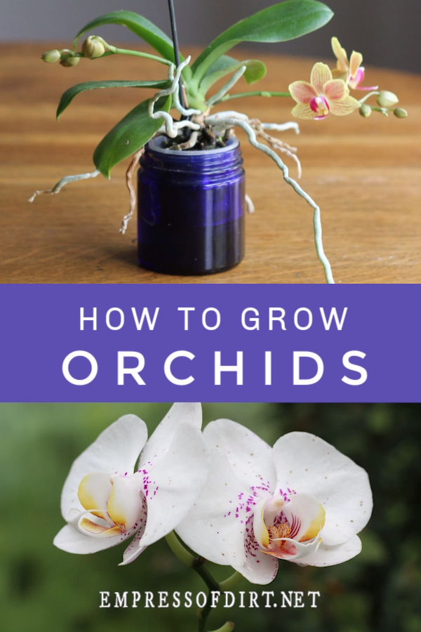 How to grow and care for orchids indoors. An excellent resource for beginners to get started with these beautiful houseplants.